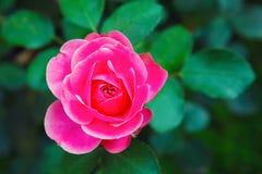 Крупный план бутона Розы пинка Стоковые Фотографии RF