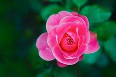 Крупный план бутона Розы пинка Стоковое Изображение