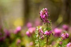 Крупный план вереска vulgaris, факел весны стоковое фото