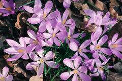 Крупный план весны крокусов цветет в лесе Стоковое Изображение