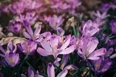 Крупный план весны крокусов цветет в лесе Стоковые Фотографии RF