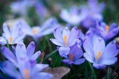 Крупный план весны крокусов цветет в лесе Стоковое фото RF