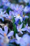 Крупный план весны крокусов цветет в лесе Стоковые Фото