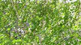 Крупный план ветвей дерева березы дунутых ветром внутри акции видеоматериалы