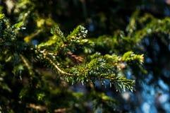 Крупный план ветвей рождественской елки в предпосылке солнечного дня Стоковое Изображение