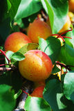 Крупный план ветви абрикоса Стоковые Фотографии RF