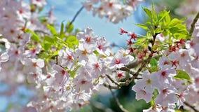 Крупный план ветви вишневого цвета с зелеными листьями сток-видео