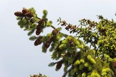 Крупный план ветви дерева конуса сосны Стоковое Изображение