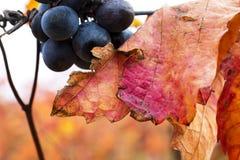 Крупный план виноградины в осени с красными листьями Стоковое Изображение