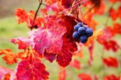 Крупный план виноградины в осени с красными листьями Стоковая Фотография RF