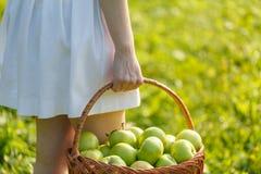 Крупный план винтажной корзины с органическими яблоками в руках женщины Лето сбора сада outdoors Женщина держа большую корзину f Стоковая Фотография RF