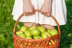 Крупный план винтажной корзины с органическими яблоками в руках женщины Лето сбора сада outdoors Женщина держа большую корзину f Стоковая Фотография