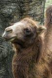 Крупный план волосатого Bactrian верблюда Стоковое фото RF