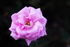 Крупный план волшебного сада розовый Стоковая Фотография