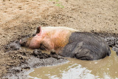 Крупный план воды грязи свиньи Стоковое фото RF