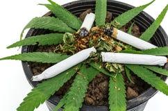 Крупный план высушенной марихуаны Стоковые Фото