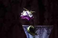 Крупный план вянуть и высушенных розовых и желтых лепестков розы на черноте Стоковая Фотография RF