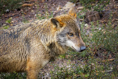 Крупный план влажной волчанки волка Signatus Стоковое Фото