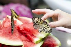 Крупный план в реальном маштабе времени бабочек Стоковые Фото