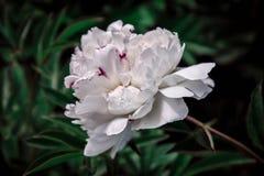 Крупный план георгина красивой весны декоративный Стоковое фото RF