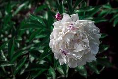 Крупный план георгина красивой весны декоративный Стоковые Фото