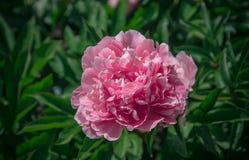 Крупный план георгина красивой весны декоративный Стоковые Изображения