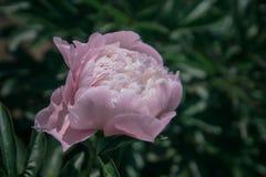 Крупный план георгина красивой весны декоративный Стоковые Фотографии RF