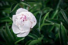 Крупный план георгина красивой весны декоративный Стоковая Фотография RF