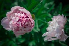 Крупный план георгина красивой весны декоративный Стоковое Изображение