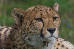 Крупный план гепарда Стоковое Фото
