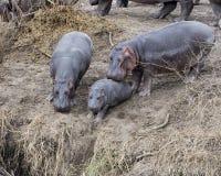 Крупный план гиппопотама матери нажимая вынужденный гиппопотама младенца от земли в реку Стоковые Фото