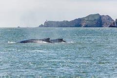 Крупный план горбатого кита матери, novaeangliae Megaptera, плавая с младенцем в San Francisco Bay Стоковые Изображения