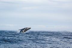 Крупный план горбатого кита пробивая брешь в океане Стоковая Фотография RF