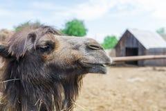 Крупный план головы верблюда в зоопарке Стоковая Фотография