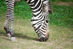 Крупный план головы зебры Стоковые Фотографии RF