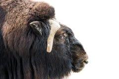Крупный план головы мускус-вола Стоковые Фотографии RF