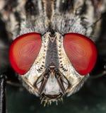 Крупный план головы мухы и макроса глаз Стоковая Фотография
