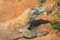 Крупный план головы дракона Komodo Стоковая Фотография