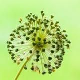 Крупный план головы семени Alium в зеленом цвете Стоковое фото RF