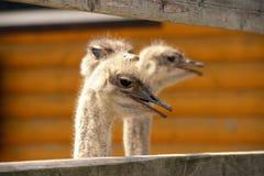 Крупный план головы Ostrichs Стоковые Фотографии RF
