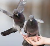 Крупный план 2 голубей Стоковые Фотографии RF