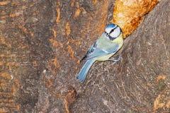 Большой tit на дереве стоковое фото
