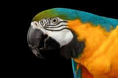 Крупный план голубой и желтая сторона попугая ары изолированная на черноте Стоковое Изображение RF
