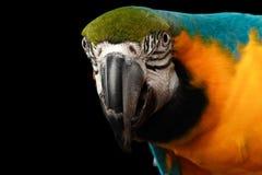 Крупный план голубой и желтая сторона попугая ары изолированная на черноте Стоковая Фотография