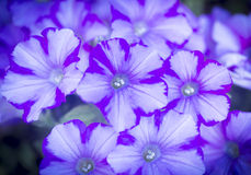 Крупный план голубых и белых цветков фиолетового света - Стоковые Изображения RF