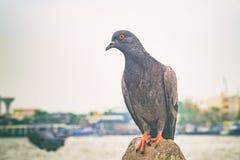 Крупный план голубя на предпосылке ландшафта реки Стоковое Изображение