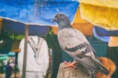 Крупный план голубя на тайской городской предпосылке ландшафта Стоковая Фотография RF