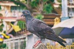 Крупный план голубя на тайской городской предпосылке ландшафта Стоковое фото RF