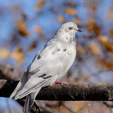 Крупный план голубя Стоковые Фото