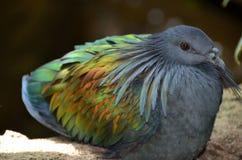 Крупный план голубя Nicobar показывая живой радужный цвет крыла Стоковые Изображения RF
